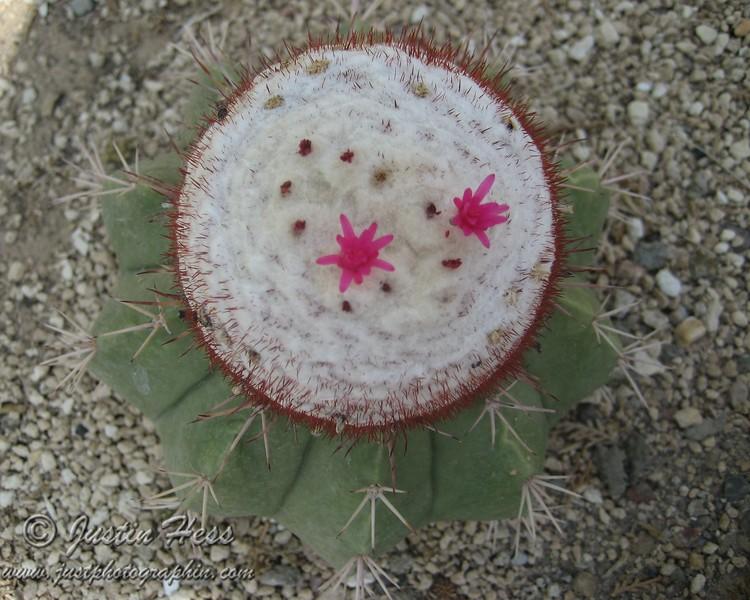 Cup Cake Cactus
