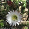 Easter Lily Cactus bloom