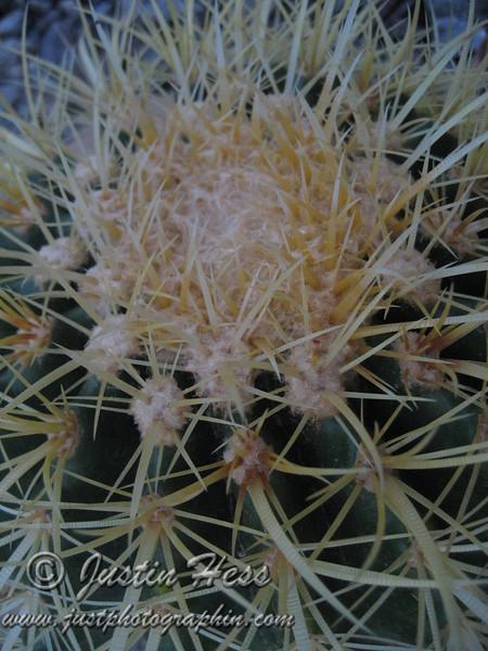 A Golden Barrel Cactus in Arizona