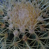 A Golden Barrel Cactus in Arizona