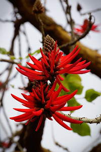Naked Coral Tree Flower