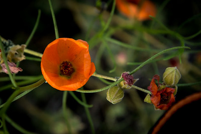 Desert Globemallow  Flower