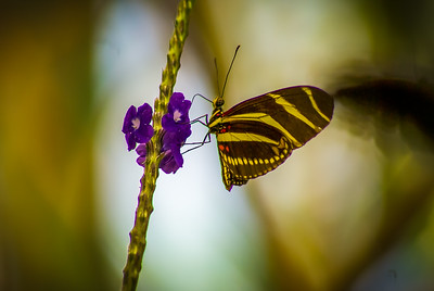 Zebra Long Wing  Butterfly 2