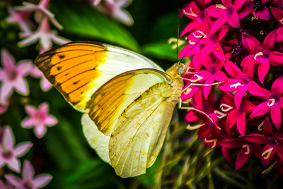 Yellow Tip Butterfly