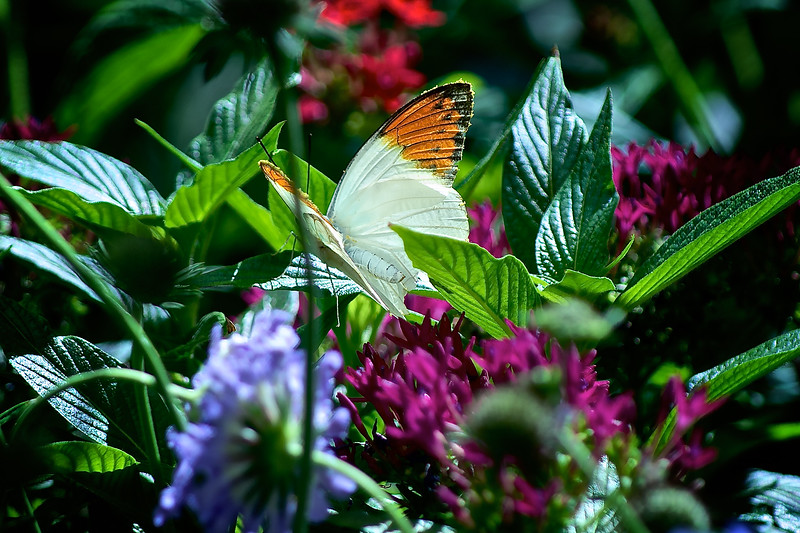 These butterflies are mostly seen on the eastern side of the United States, particularly in Texas and Oklahoma.