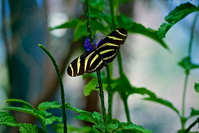 Zebra Long Wing