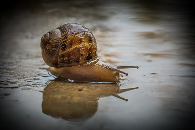 Snail lying in Rainwater