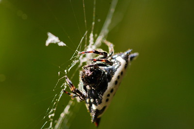 Spiney Backed Orb Weaver Spider