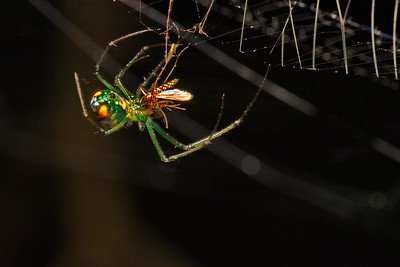 Venusta Orchard Spider eating a Mosquito