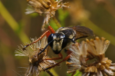 Red & Black Mason Wasp with Nikon D7100 + Tokina 100mm Macro f/2.8 lens