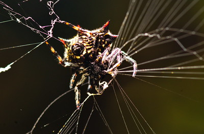 Spiny Backed Orb Weaver Spider