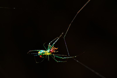 Venusta Orchard Spider Eating Mosquito with Nikon D7100 + Tokina 100mm f2.8 Macro Lens