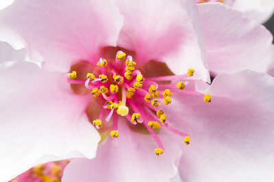 Macro of Peach tree flower