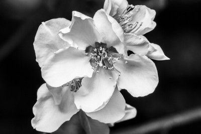 Macro of Peach tree flower