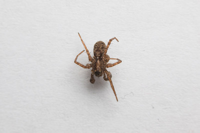 Macro of Spider. This spider was already crippled when I caught it (it wasn't going to live long as it was already limping), however during the photography progress, I did accidentally rip off one more leg. I've handled bugs and insects for photos many times in the past and this has never happened. Bugs and insects I took photos before were all released back into the wild alive and unharmed. The photographer behind Naturetastic Photography do not condone insect/bug/animal/wildlife cruelty. This was a rare occurrence, and the spider was still released back into the wild alive (possibly as bird food now). I would like to reiterate that this spider was already crippled when I found it. Even if I did not take photos of it, it would have most likely ended up in a bird's belly either way (there are a lot of birds outside of my house). I most likely managed to prolong its life for about an hour as I did these shots. I am by no means happy I accidentally ripped two legs off of this thing. I felt bad for it.