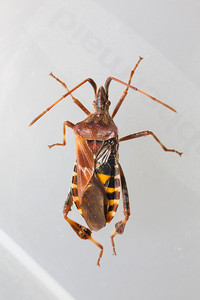 Kissing Bug Macro