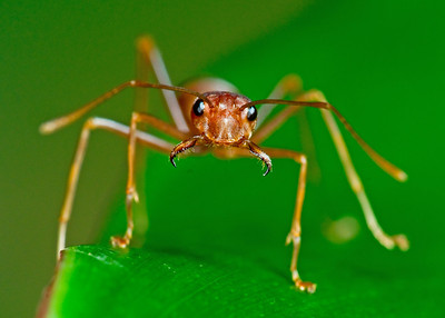 Weaver ant face