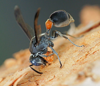 Wasp removing bark