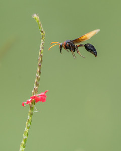 Giant Wasp in flight