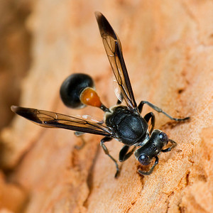 Wasp bow