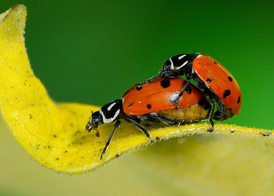 Beetles, Weevils and Ladybirds