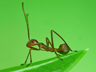 ANt-mimicking Assassin bug