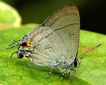 Hypolycaena erylus teatus (Common Tit)