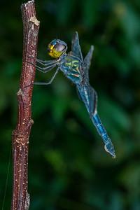 Female Dark-tipped forest skimmer