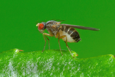 Smaller Fly