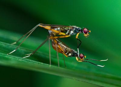 Stilt -legged fly