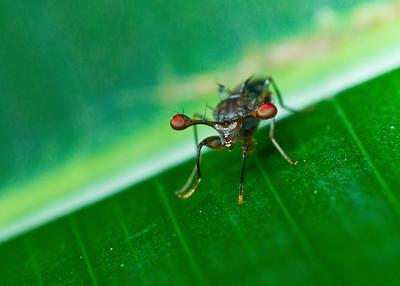 Stalked-eye fly