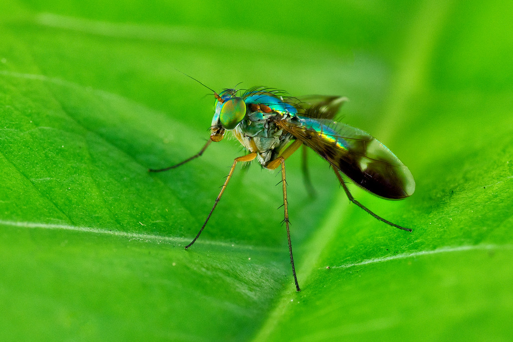 Long legged fly 00177+176+175