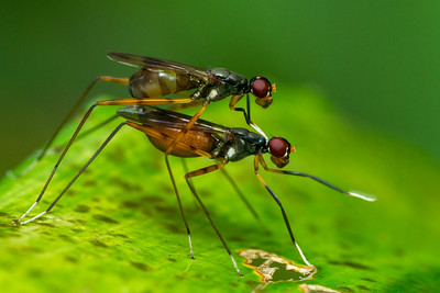 White handed flies mating00994+93