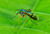 Long Legged Fly 00172+171