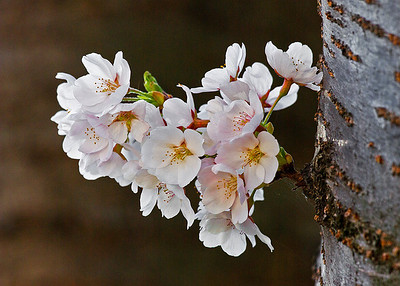 cluster Cherry Blossoms