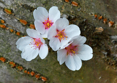 Cherry Blossoms on bark