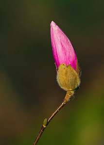 Budding flower 1