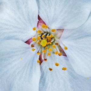 Cherry Blossoms close up