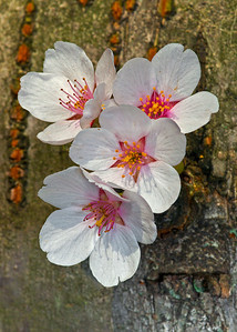 Cherry Blossoms on bark