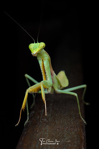 Giant Asian Mantis