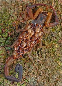 panaramic macro scorpion 52-53-55