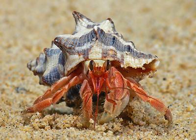 Hermit crab frt_019471_filtered