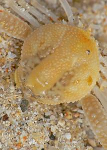 crab top CU_019058