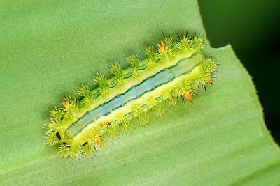 Stinging slug caterpillar C01252+49