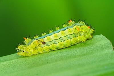 Stinging Slug Caterpillar C01201+02+03+05
