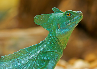 Basilsk lizard