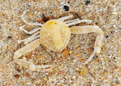 crab top view _019009