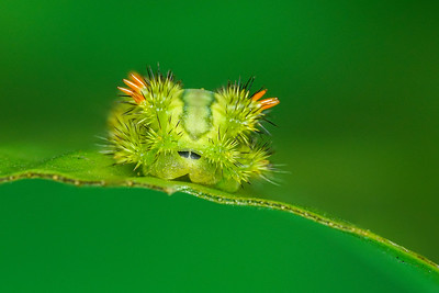 Stinging slug caterpillar DSC01236+37