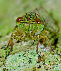 Cicada frt