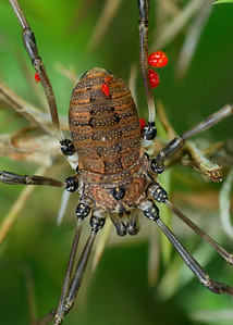 Harvestmen affected with ticks stack 4